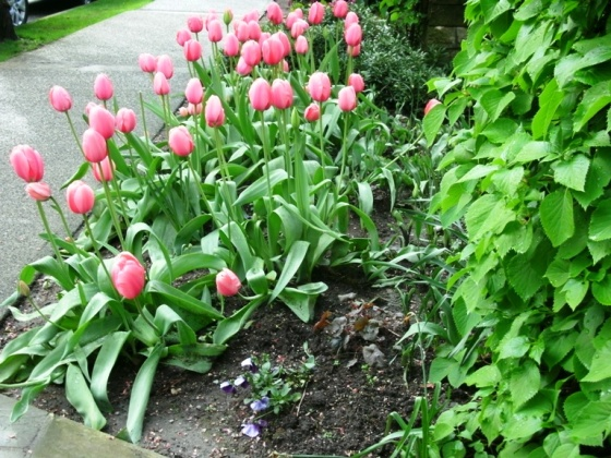 Tulips in the West End